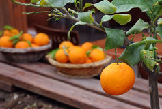 Oranges in the Garden. An orange on the tree and two bowls of oranges in the background Stock Photo