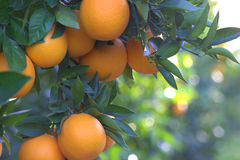 Oranges. Royalty Free Stock Photo