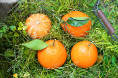 Oranges on the grass Royalty Free Stock Images