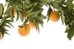Oranges growing in cluster Royalty Free Stock Photography