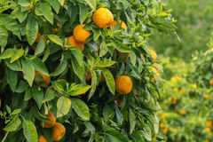 Oranges growing in orchard Stock Photos