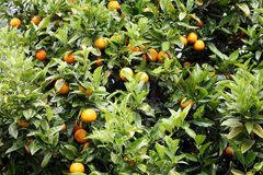 Oranges growing on the tree. Fresh organic oranges growing on the tree royalty free stock photo