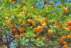 Oranges growing on tree Stock Photos