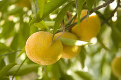Oranges growing on tree Stock Images