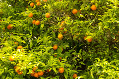 Oranges growing on a tree in Dubrovnik, Croatia Stock Photos