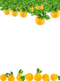 Oranges growing on a tree and fallen. Making a border Royalty Free Stock Images