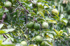 Oranges growing on the tree Royalty Free Stock Images