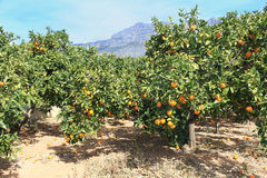Oranges growing on the tree Stock Image