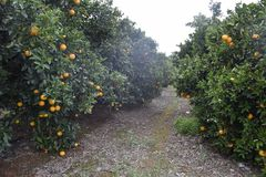Oranges on a tree. Oranges growing on a tree royalty free stock image
