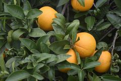 Oranges on a tree. Oranges growing on a tree royalty free stock images
