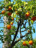 Oranges. Growing on a tree in Seville, Spain Stock Image