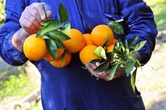 Oranges grown with their own hands. Italy Gardener holding his harvest oranges royalty free stock image