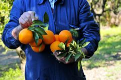 Oranges grown with their own hands Royalty Free Stock Photography