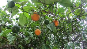 Oranges hang on a branch.