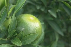 Oranges hang on the citrus branches in the orchard. It`s not ripe yet royalty free stock images