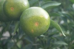 Oranges hang on the citrus branches in the orchard. It`s not ripe yet stock photos