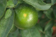 Oranges hang on the citrus branches in the orchard. It`s not ripe yet royalty free stock image
