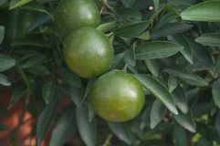 Oranges hang on the citrus branches in the orchard. It`s not ripe yet stock images