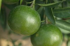 Oranges hang on the citrus branches in the orchard. It`s not ripe yet royalty free stock photos