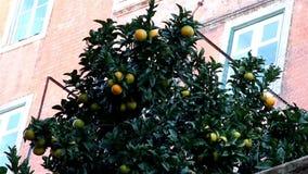 Oranges hanging on the orange tree stock footage