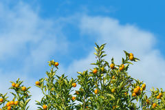 Oranges hanging tree with cloud and blue sky. Royalty Free Stock Photography