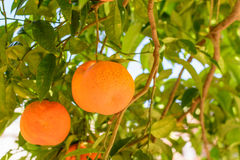 Oranges hanging on tree. Oranges on tree in Italy, typical locat Stock Photography