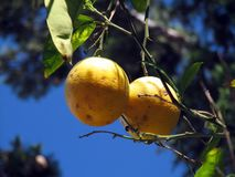 Oranges harvest. Dried oranges on a tree in the streets of Greece royalty free stock photography