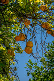 Oranges in the jardines, royal garden of the Alcazar de los Reye Royalty Free Stock Photos