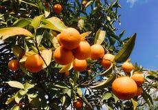 Oranges mûres Image libre de droits