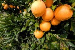 Oranges mûres Images libres de droits