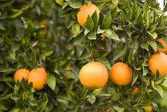 Oranges mûres fraîches Image stock