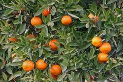 Oranges mûres prêtes pour la cueillette Photo stock