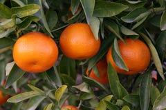 Oranges mûres prêtes pour la cueillette Photos stock