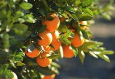 Oranges mûres s'arrêtant sur un arbre Images stock