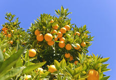 Oranges mûres s'arrêtant sur un arbre Photographie stock