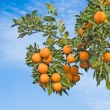 Oranges mûres sur l'arbre Image stock