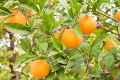 Oranges mûres sur l'arbre Photos stock