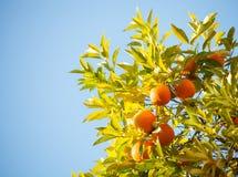 Oranges mûres Image stock