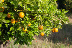 Oranges mûres et fraîches accrochant sur la branche, verger orange en Turquie Images stock