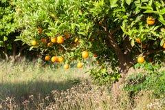 Oranges mûres et fraîches accrochant sur la branche, verger orange en Turquie Photographie stock libre de droits