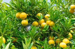 Oranges mûres lumineuses sur l'arbre entouré par les feuilles vertes Image libre de droits