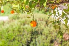 Oranges mûres s'arrêtant sur un arbre Image libre de droits