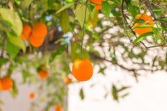 Oranges mûres s'arrêtant sur un arbre Images libres de droits