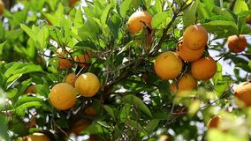 Oranges mûres sur l'arbre dans le jardin banque de vidéos