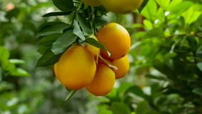 Oranges mûres sur une branche banque de vidéos