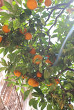 Oranges of Menton Royalty Free Stock Images