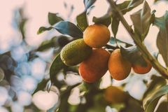 Oranges minuscules photographie stock
