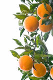 Oranges On A Branch Isolated On White Royalty Free Stock Photo