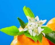 Oranges with orange blossom flowers on blue Stock Photo