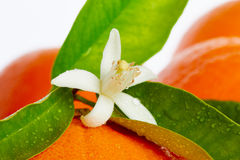 Oranges with orange blossom flowers on white Royalty Free Stock Photo
